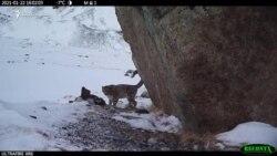 На Алтае сняли видео с молодым снежным барсом