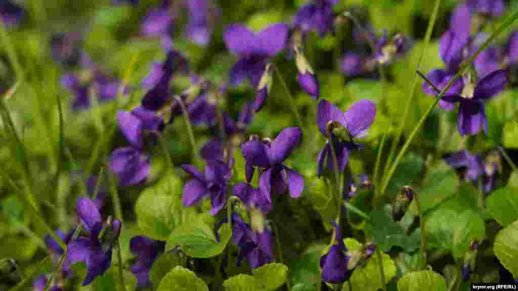 А також багато інших весняних квітів кримського Південнобережжя