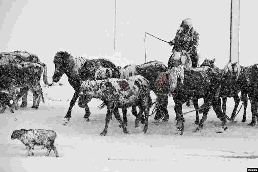 A man herds livestock amid heavy snow in Altay in China's Xinjiang Autonomous Region on May 3. (Reuters/Stringer)