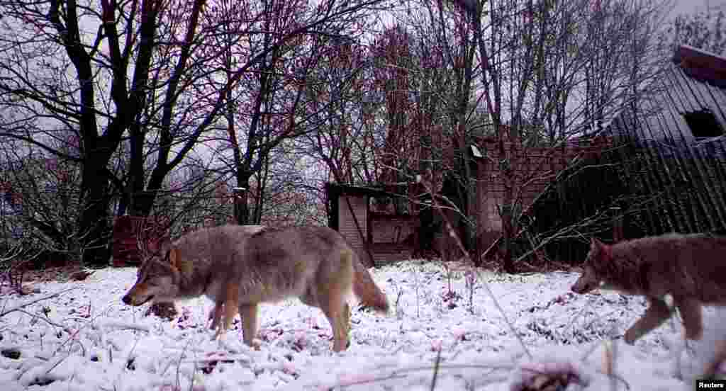 Wolves in the village of Orevichi, Belarus. Following the Chernobyl disaster on April 26, 1986, some 100,000 people fled the area permanently, leaving behind an abandoned zone the size of Luxembourg.