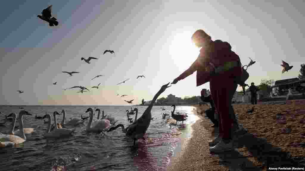 Последние дни «бархатного сезона» в Евпатории.Лебеди-шипуны прилетают в город из пригородного озера Сасык-Сиваш