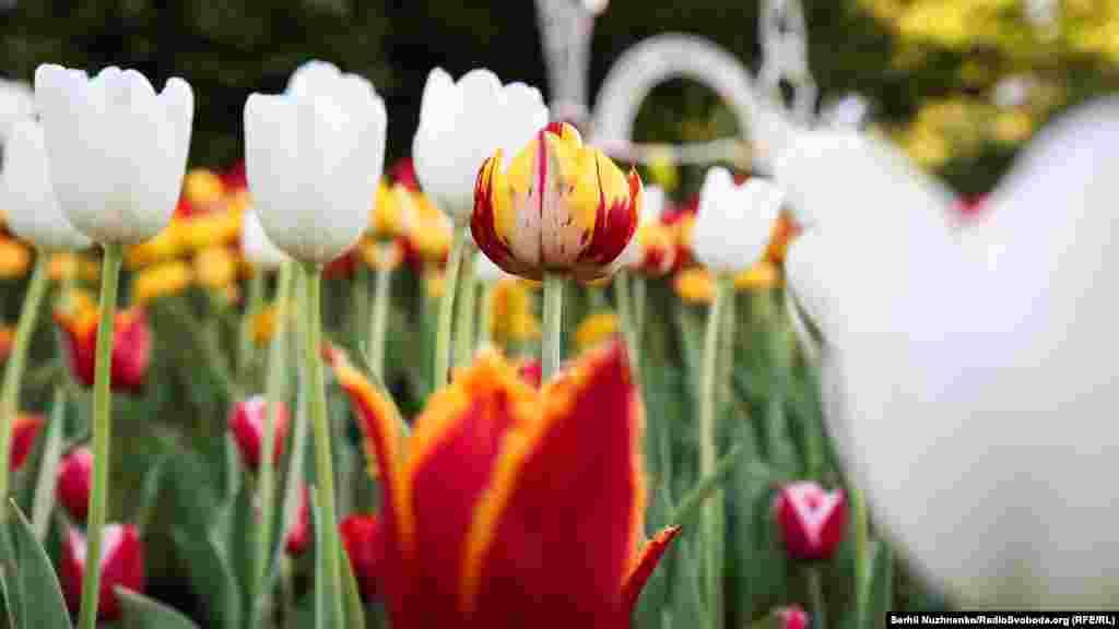 Тюльпан об'єднує світ – це не просто вислів, це багатовікова історія поширення весняної квітки крізь віки просторами планети Земля. Уперше почали вирощувати тюльпани в Персії. Найдавніша згадка про тюльпан зустрічається в перських легендах ХI століття. Вважається, що назва походить від перського слова «тюлі бан» – тюрбан, через подібність квітки зі східним головним убором