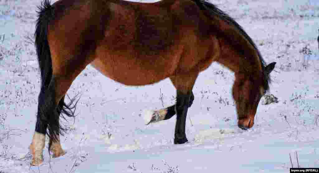 Кобыла копытом подгребает снег, чтобы добраться до травы