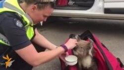 Австралия полицияси коалани ўрмон ëнғинидан қутқарди