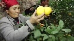 Как житель Баткена зарабатывает на лимонах