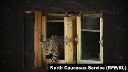 Леопард в Осетии