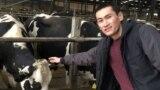 Сагындык Эмилбек уулу сүт багытындагы уйлар фермасында. Рединг университети. Англия
