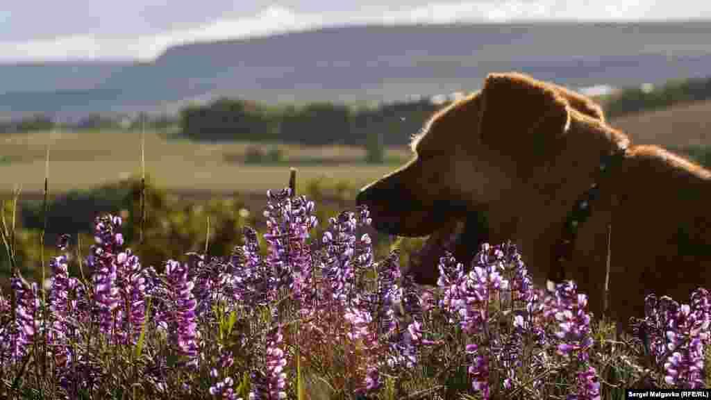 Домашний пес щурится в лучах солнца посреди поля в селе Клиновка, что под Симферополем