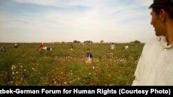 Дети собирают урожай хлопка. Узбекистан, сентябрь 2012 года.