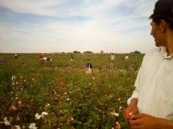 Cotton Campaign: Ўзбекистон ҳукумати мажбурий меҳнатни тақиқлаши керак!