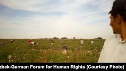 Өзбекстанда мақта теріп жүрген балалар. (Көрнекі сурет).
