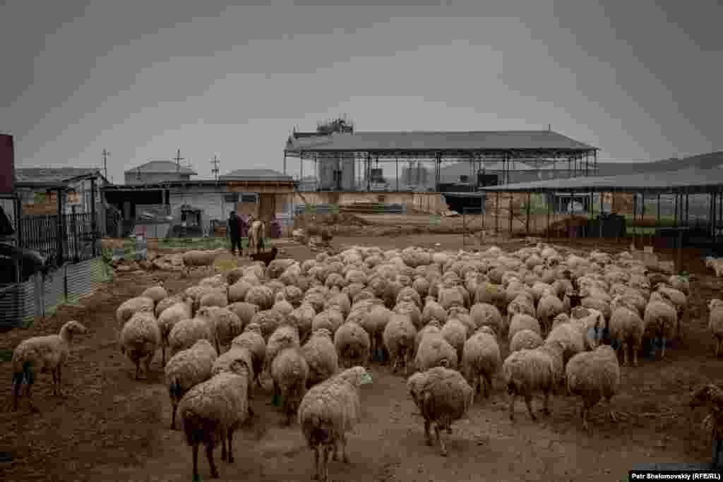 Sheep fill the farmyard, as the shepherds return for lunch.