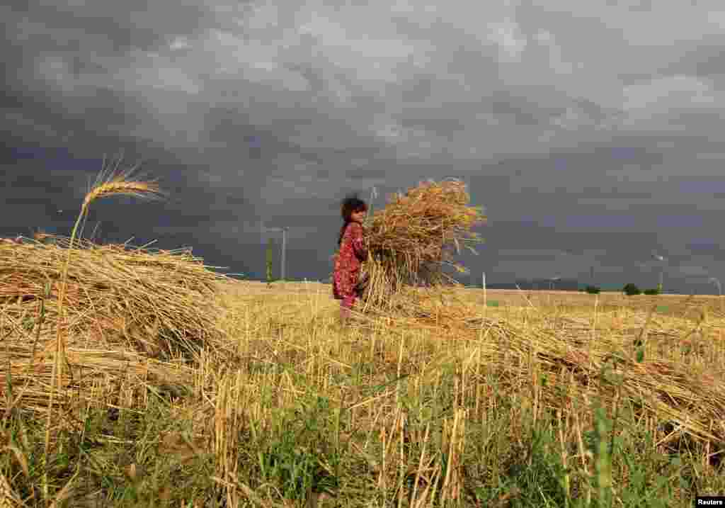 An Afghan girl works in a wheat field in Nangarhar Province. (Reuters/Parwiz)