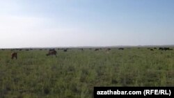 The Afghan Turkmen are now able to bring their cattle to a large island in the Amu Darya River to graze.