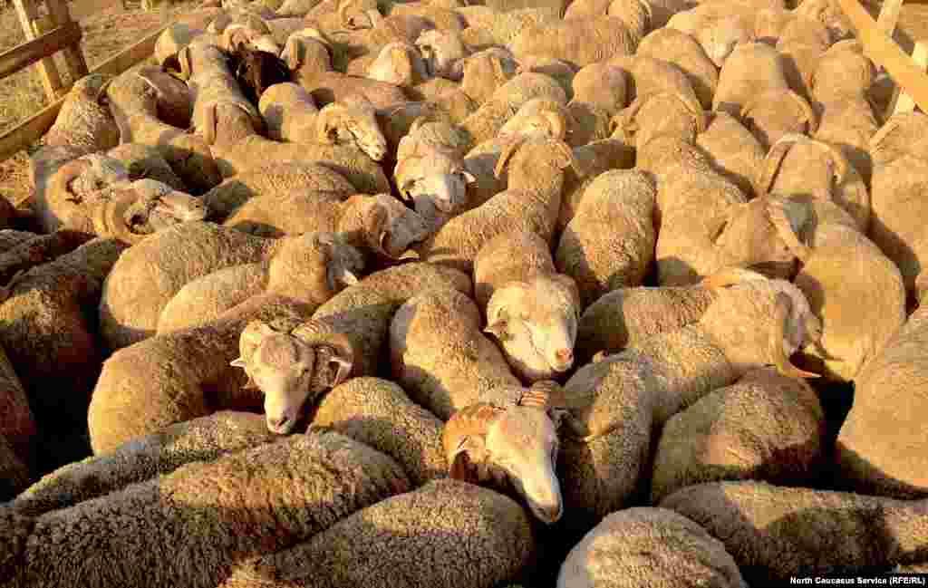 По данным дагестанского комитета по ветеринарии, всего в республике 50 мест забоя скота, где будут задействованы более 100 ветеринарных врачей и 20 единиц дезинфекционных установок. В их задачу также входит предубойный клинический осмотр скота и ветеринарно-санитарная экспертиза для установления доброкачественности мяса
