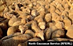 Будет ли больше дагестанской баранины в Татарстане?