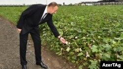 İ.Əliyev pambıq plantasiyasında.
