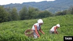 Потребление чая во всем мире растет, а количество мест, пригодных для чайных плантаций, на планете весьма ограничено. Будущее покажет, сколько чая на современном оборудовании смогут производить и реализовывать в Абхазии