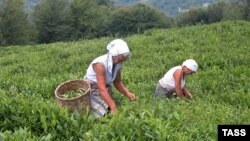 Абхазский чай, который в советское время был главным абхазским брендом, сегодня практически уничтожен