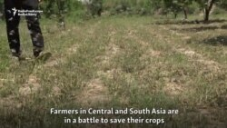 Largest Locust Invasion In Decades Plagues Farmers Across South And Central Asia
