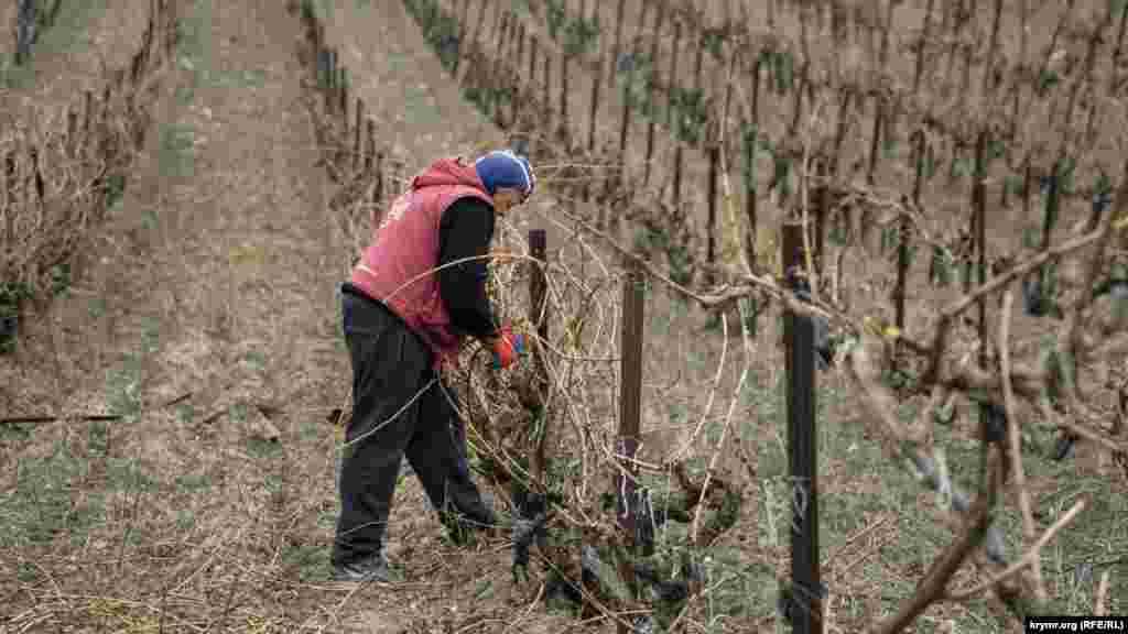В разгаре весенняя обрезка технического сорта винограда «каберне совиньон». За день этому рабочему «Тавриды» предстоит обрезать 120 кустов