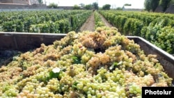 Armenia - Grapes harvested at a vineyard in the Ararat Valley, 9Sep2013.
