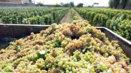 Armenia - Grapes harvested at a vineyard in the Ararat Valley, 9Sep2013.