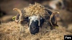 ورود دو هزار راس گوسفند زنده رومانیایی از طریق فرودگاه «امام خمینی»