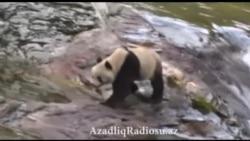 Çində panda turistlərin qarşısına çıxıb