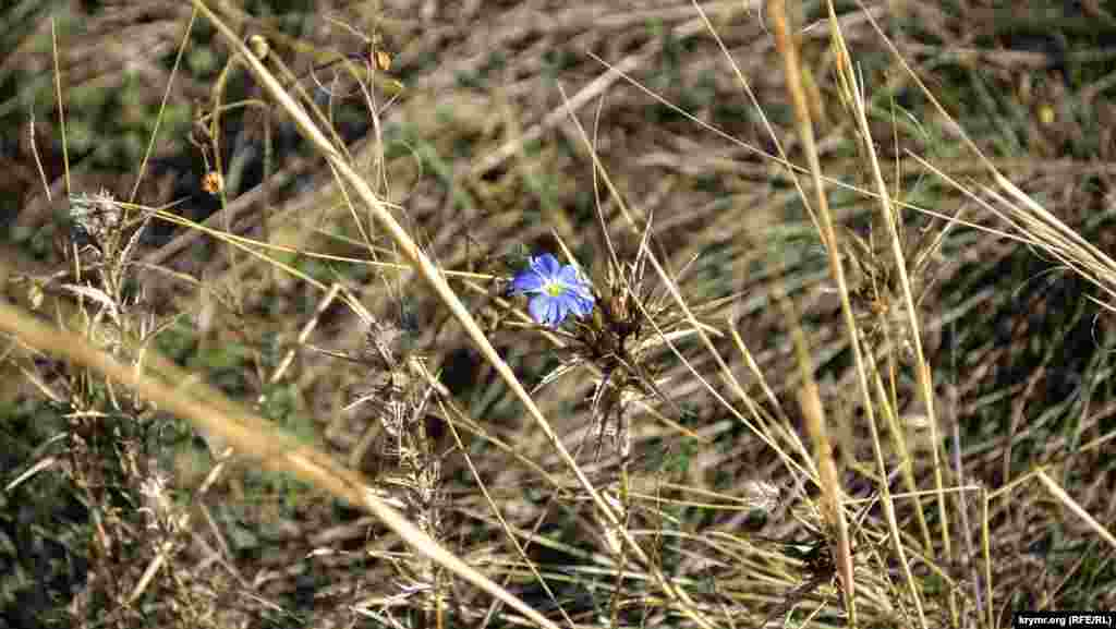 В сухой траве синеет одинокий цветок