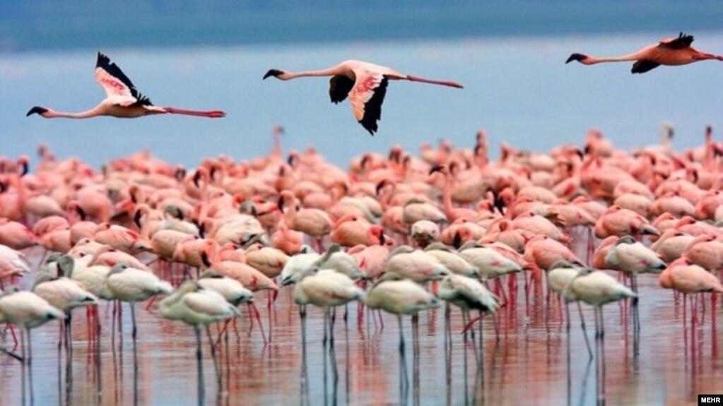 هزاران فلامینگو در دریاچه ارومیه ماندگار شدند
