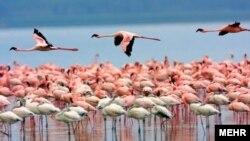 فلامینگوها امسال در دریاچه ارومیه میمانند.