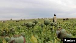 Pamje nga qarku Gereshk në Afganistan ku shumë sipërfaqe janë të mbjellura me bimë për prodhim të drogës
