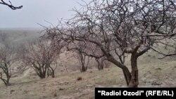 Фисташковые деревья в Хатлонской области Таджикистана. 5 января 2017 года.