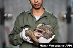 Рабочий держит панголина в центре спасения фауны Вьетнама, где действует программа сохранения популяции панголинов
