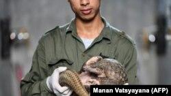 """""""Вьетнамдағы жабайы өмірді қорғау"""" ұйымының қамқорындағы панголинді ұстап тұрған жігіт."""