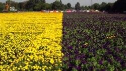 У Києві, в Пирогові створили найбільший прапор України з квітів
