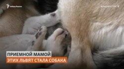 Во Владивостоке немецкая овчарка выкармливает африканских львят