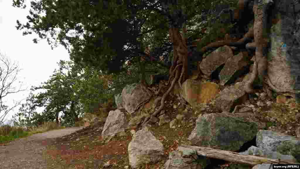 Коріння реліктових дерев звивається навколо каменів, немов змії