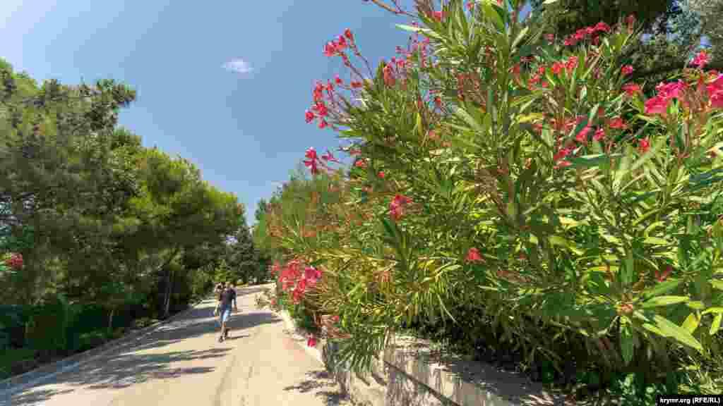 Вдоль центральной дороги Форосского парка цветут олеандры
