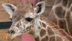 Жирафенок-карапуз
