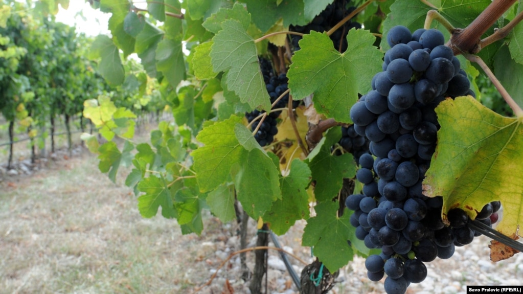 around a fifth of the wine exported from plantaze vineyard usually ends up in russia