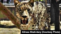 Леопард Рика. Июль 2013 года, зоопарк Тегерана