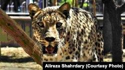 Iran -- Rika - Iranian panther, July 23, 2013.