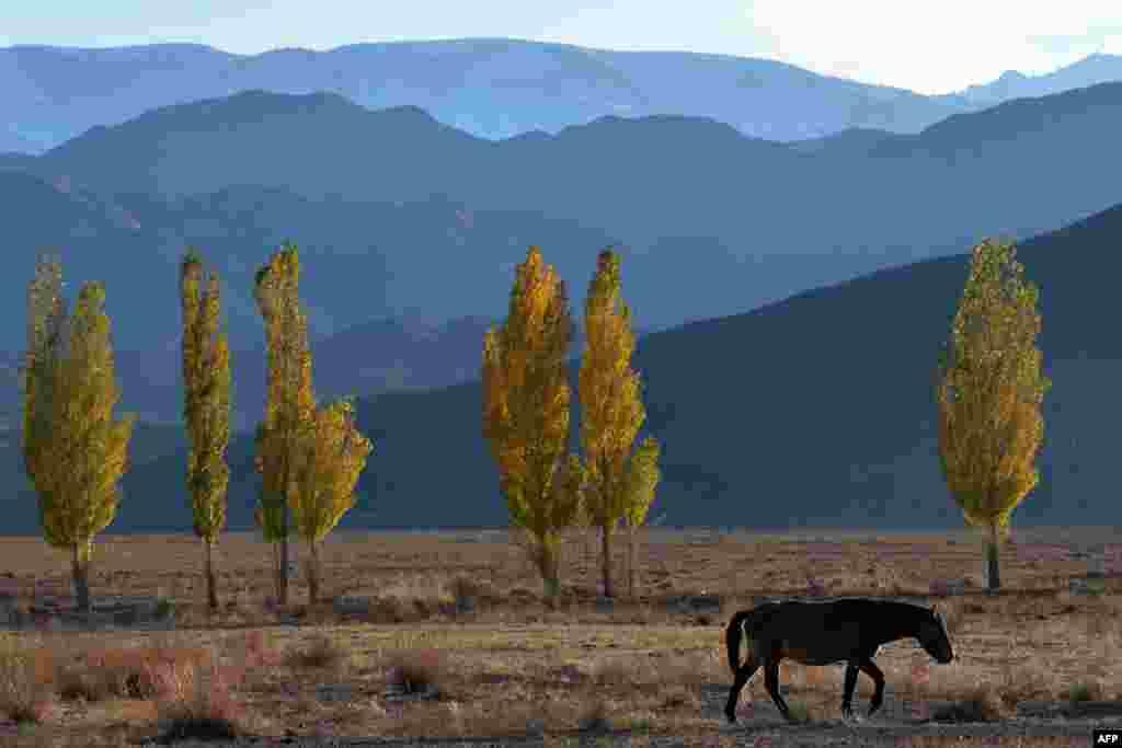 A horse grazes near Lake Issyk-Kul, some 300 kilometers from the Kyrgyz capital, Bishkek. (AFP/Vyacheslav Oseledko)