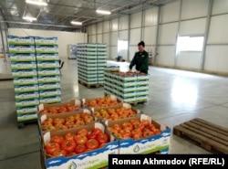 Рабочий теплицы «BRB АРК» укладывает помидоры в коробки. Алматы, 10 марта 2017 года.