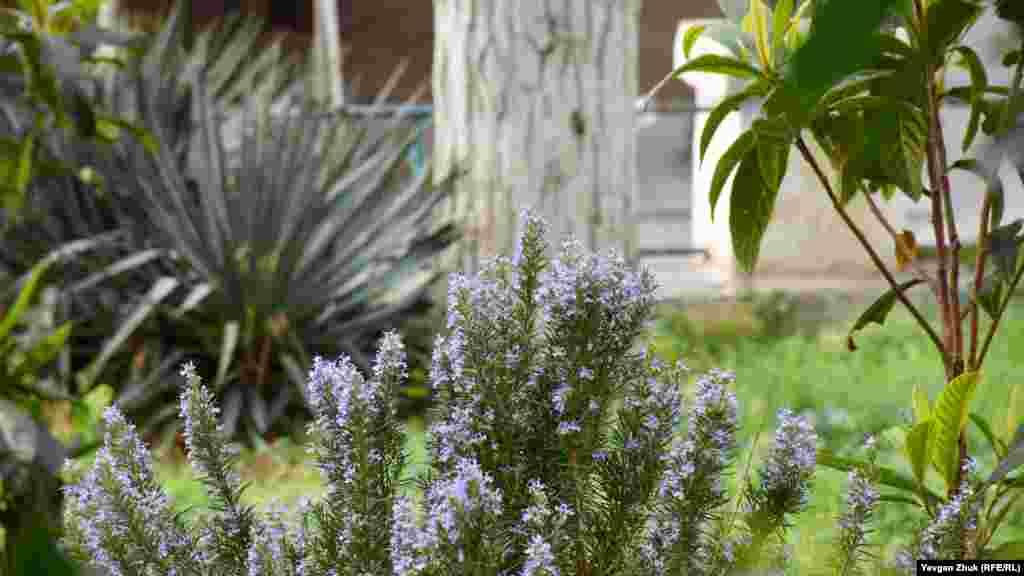 Розмарин радует сине-фиолетовыми цветками