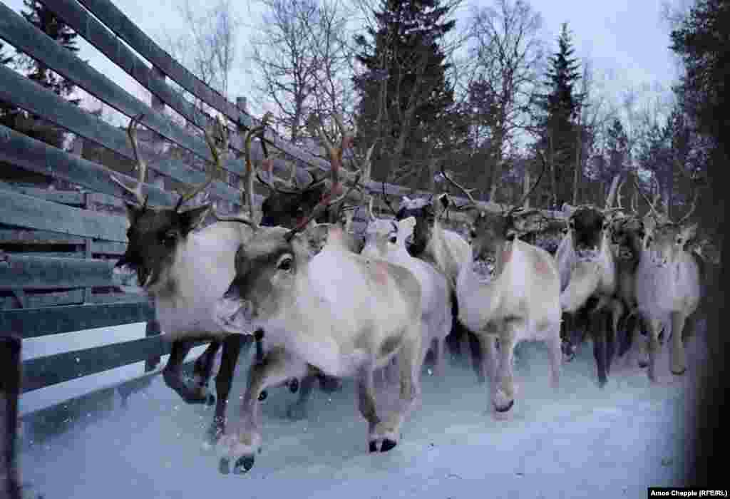They drive the reindeer through the mountains and toward a corral, where many will be slaughtered for their meat. But only if they're not too radioactive to eat.