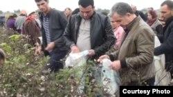 Rayon icra başçısı pambıq yığımında iştirak edib. Foto: Report.az