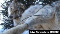 Убитый волк. Текели, Алматинская область.